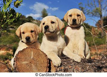 hundebabys, labradorhundapportierhund
