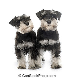 hundebabys, miniaturschnauzer