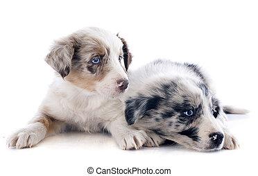 hundebabys, rand- collie