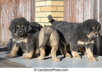 hundebabys, rasse, tibetische dogge