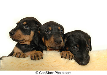 hundebabys