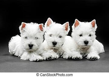 hundebabys, terrier, westen, hochland, weißes