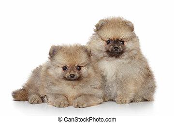 hundebabys, weißes,  Pomeranian, hintergrund
