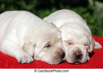 hundebabys, zwei,  labrador