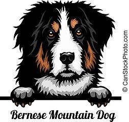 hunden, berg, gesicht, bernese, farbe, kopf, hund, rasse, weißes, -, freigestellt, guckend
