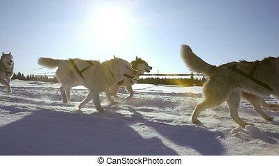 hunden, harnessed, per, hunden, rasse, heiser, ziehen,...