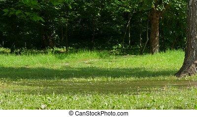 hunden, laufen, ungefähr, in, a, pfütze, in, grün, grass.
