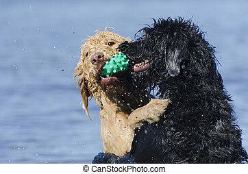 hunden, retreiving, der, gleich, kugel, wasser