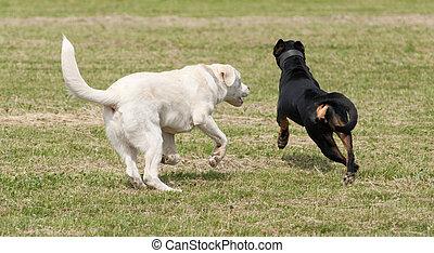 hunden, spielende , zwei