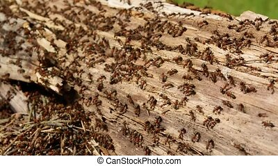 Hundreds of ants running around their colony in an old doty log nest closeup