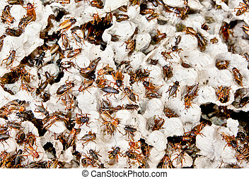 Hundreds of brown cockroaches in their habitat. Indonesia.