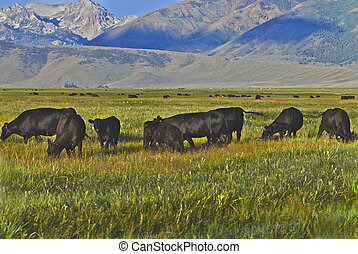 Hundreds of cattle graze below the easter slopes of the...