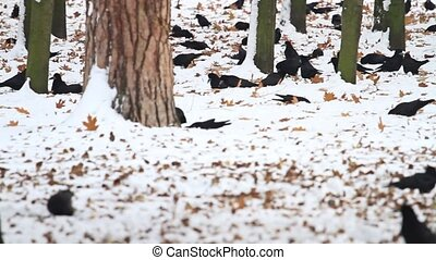 hundreds of rooks searching for food among the snow