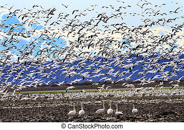 Hundreds of Snow Geese Taking Off Flying In Response to Threat Trumpeter Swans Cygnus buccinator Watching