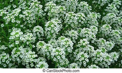 Hundreds of tiny, white flower blooms - Closeup clip with ...