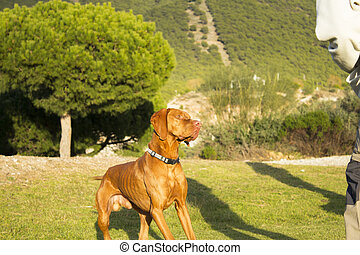Hungarian breed dog portrait