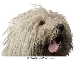Hungarian dog Puli is looking in the studio