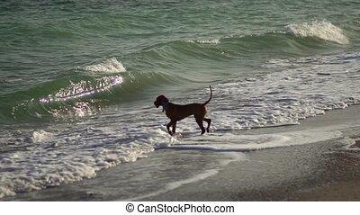 Hungarian dog Vizsla on the coast.