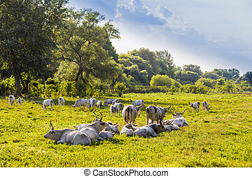 Hungarian gray cattle in the field.