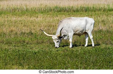 Hungarian grey bull - Beautiful hungarian grey bull in the...