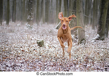 Hungarian hound dog on snow in winter time