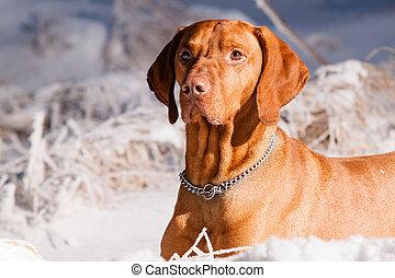 Hungarian hound dog - Lying Hungarian hound dog in winter on...