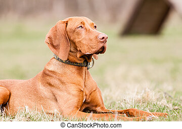 Hungarian hound dog