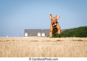 Hungarian hound hunter pointer vizsla dog in summer time in the field