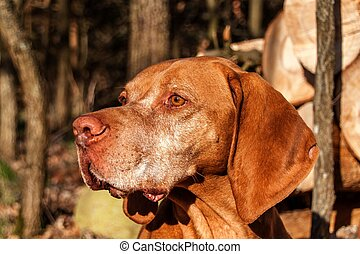 Hungarian hound in the forest. Hound. Spring evening with dog. Loyal friend.