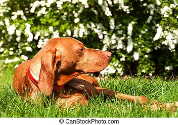 Hungarian hound lies in the grass. Rest for hunting. Hunting dog on a meadow.