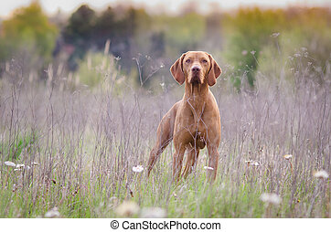 Hungarian hound pointer vizsla dog in autumn time in the field