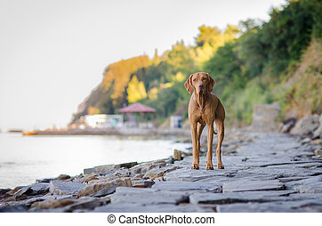 Hungarian hound pointer vizsla dog on the coast by the sea