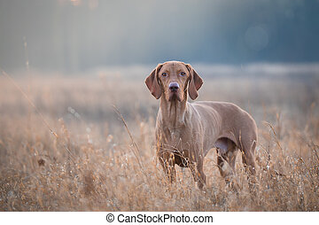 Hungarian hound vizsla dog in field