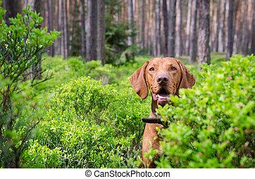 Hungarian hound vizsla dog in forrest in summer time