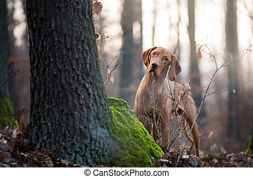 Hungarian hound vizsla dog in forrest