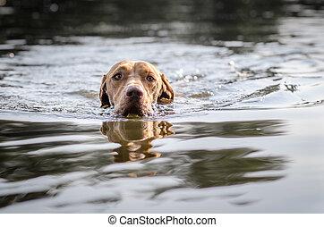 Hungarian hound vizsla dog in summer time