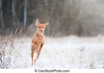 vizsla dog jumping like kangaroo