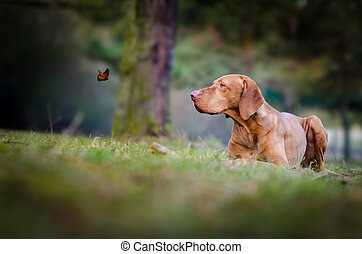 Hungarian hound vizsla dog looking on butterfly