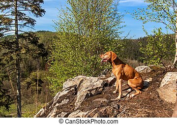 Hungarian hound Vizsla on a rock in the forest. Hunting dog in the forest. Hound on the hunt.
