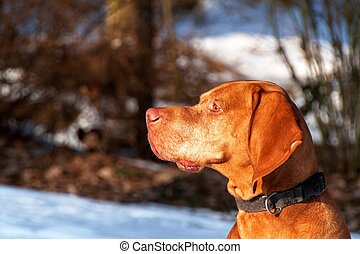 Hungarian hunting dog on a winter hunt in the woods. Vizsla hunting wildlife.