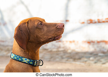 Hungarian Pointing Dog or Vizsla in outdoor in a park