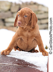 Hungarian Short-haired Pointing Dog in winter