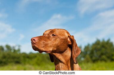 Hungarian Vizsa Dog Closeup