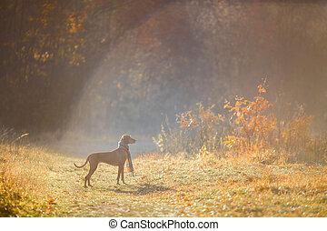 Hungarian Vizsla autumn portrait