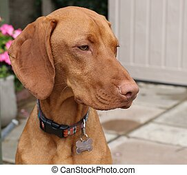 Hungarian vizsla dog