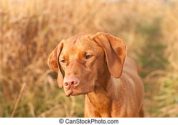 Hungarian Vizsla Dog Close-up