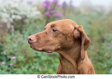 Hungarian Vizsla dog in a field.