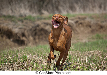 Hungarian Vizsla Dog in Grassy Field