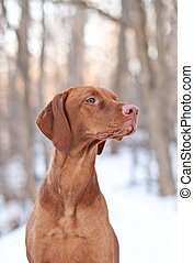 Hungarian Vizsla Dog in Winter