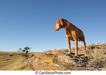 hungarian vizsla dog outdoors